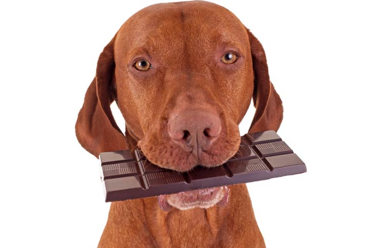 Can Dogs Eat White Chocolate?