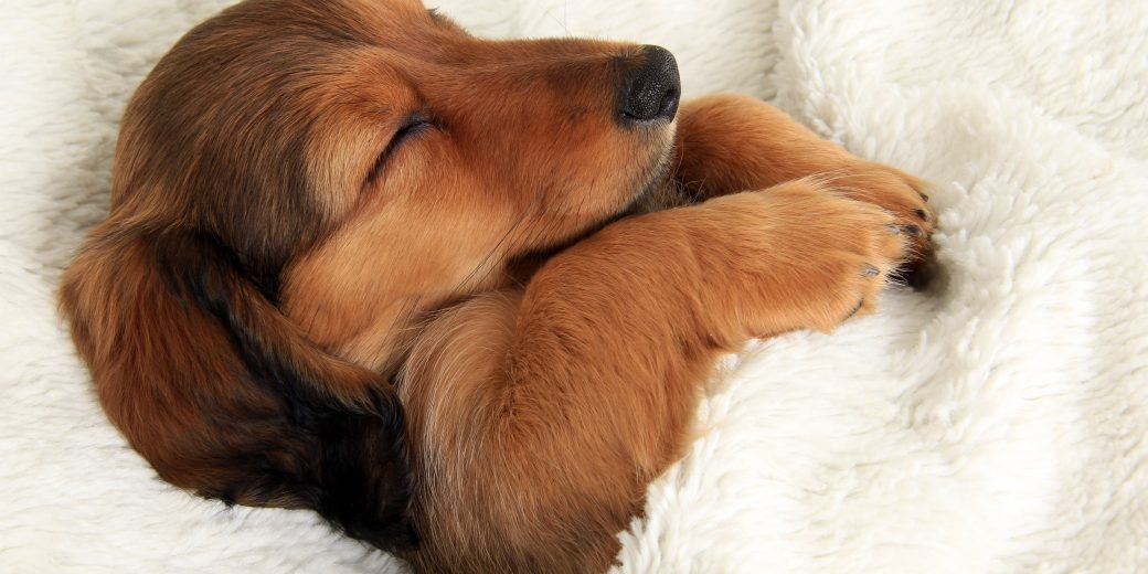 How Much Do Puppies Sleep At Weeks The Basic Knowledge Every - Puppies sleeping
